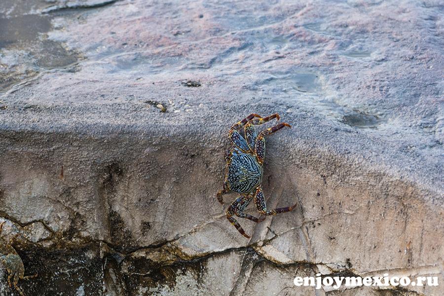 краб морской фото