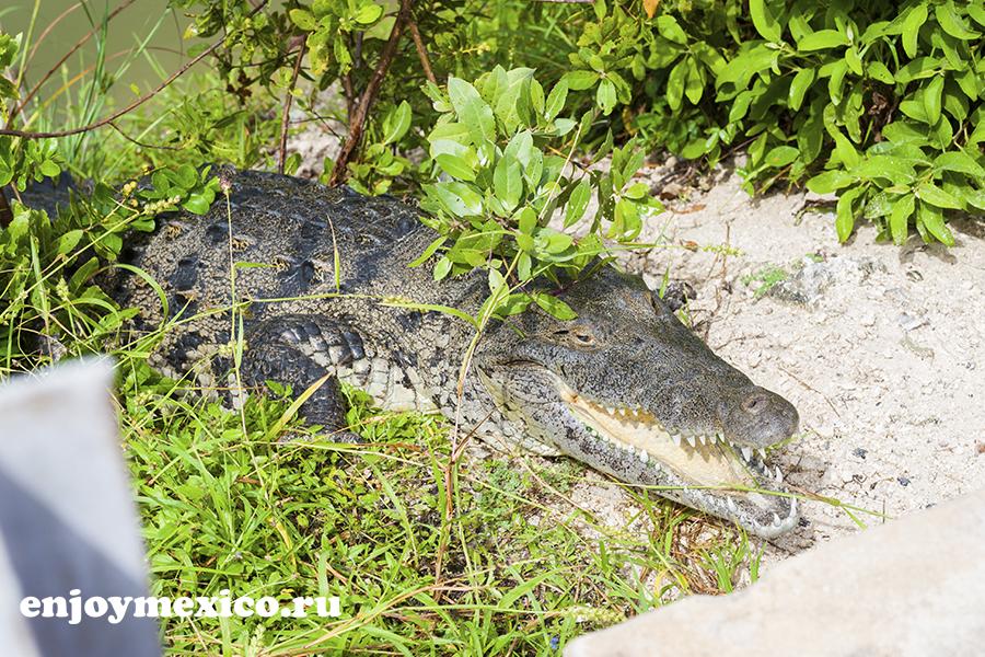 крокодилы на острове косумель