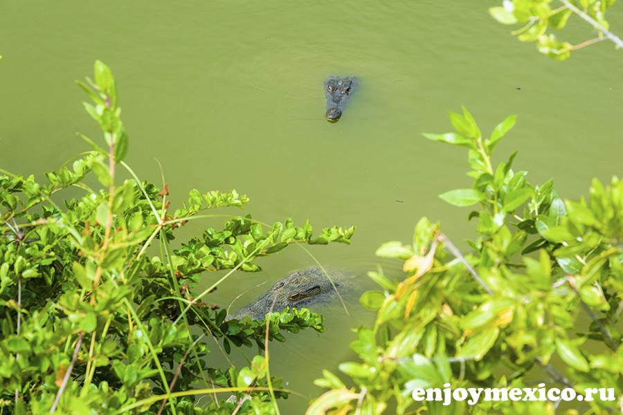 крокодилы в воде косумель мексика