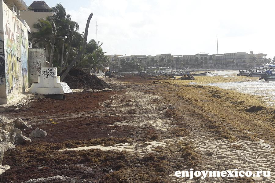 бурые водоросли на пляжах в мексике