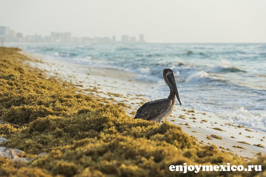 пеликан на водорослях