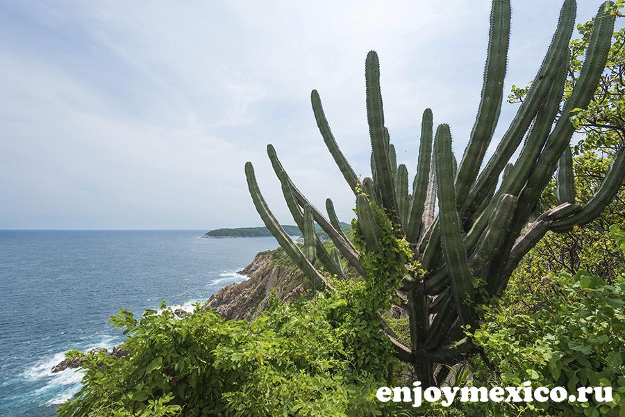 кактус органо мексика