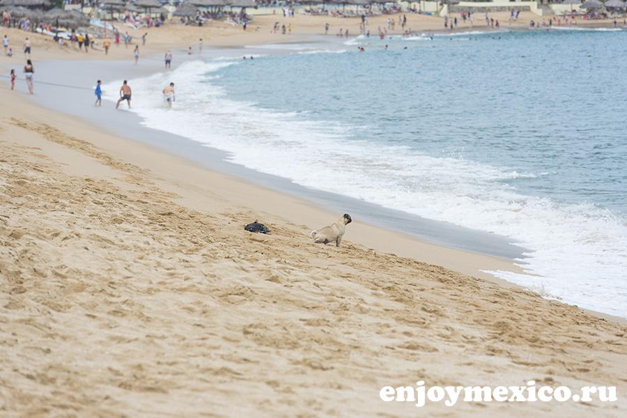 мопс на пляже танголунда уатулько мексика