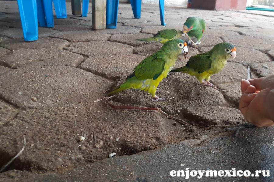 сан агустинилло мексика попугаи