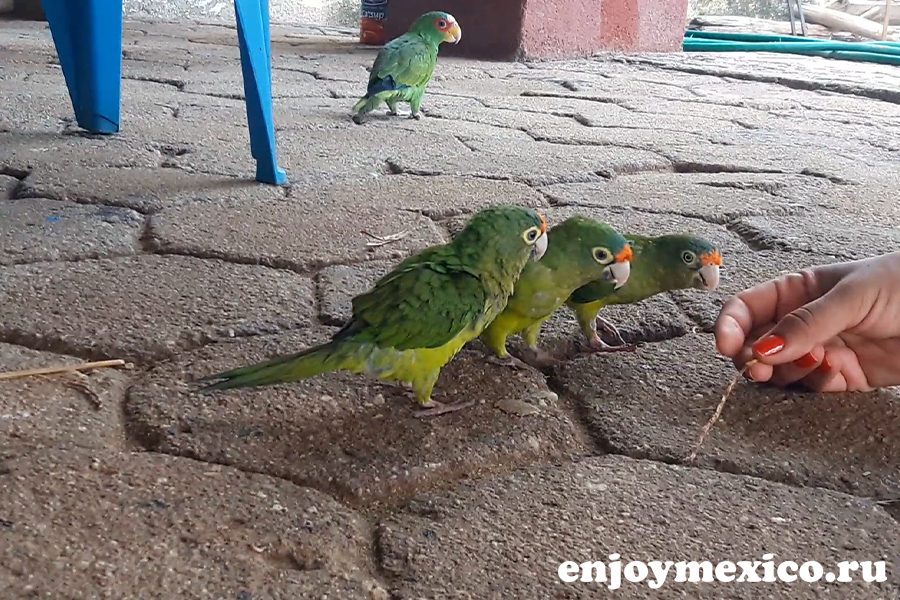 сан агустинилло мексика зеленый попугай