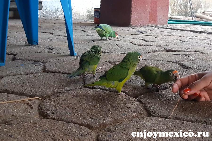 зеленый попугай сан агустинилло мексика