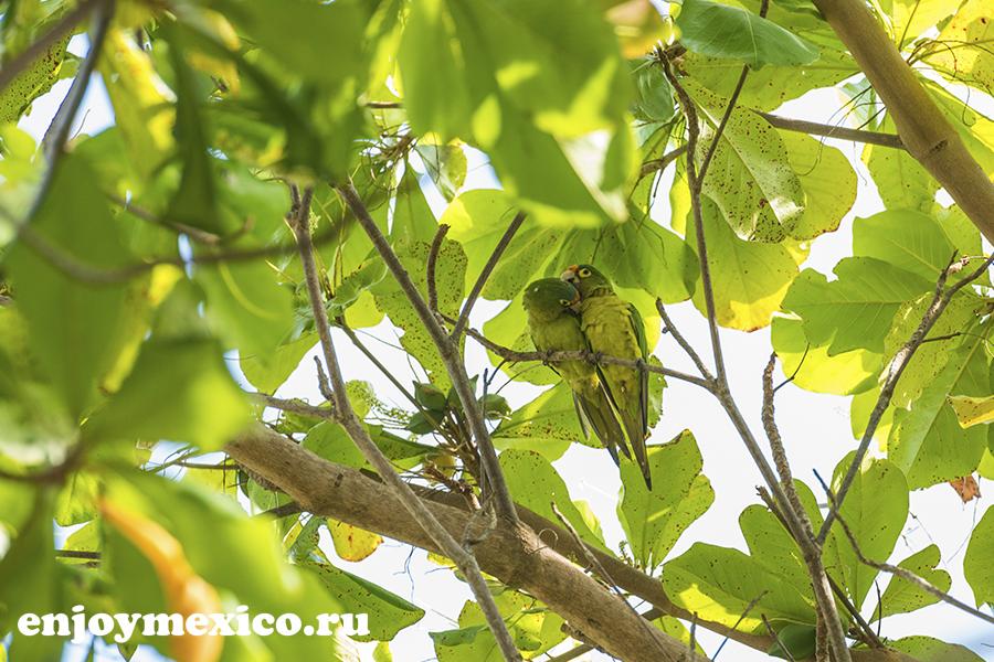 зеленые попугаи в мексике