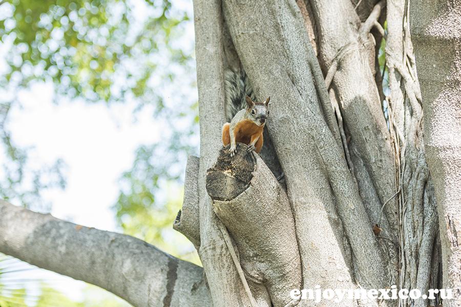 белка на дереве в мексике