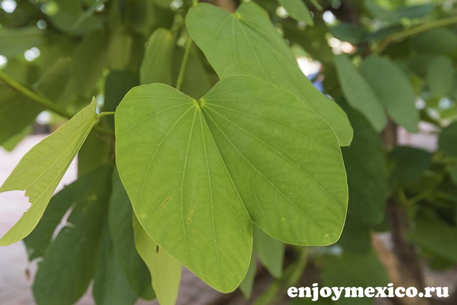 необычный лист на дереве мексика