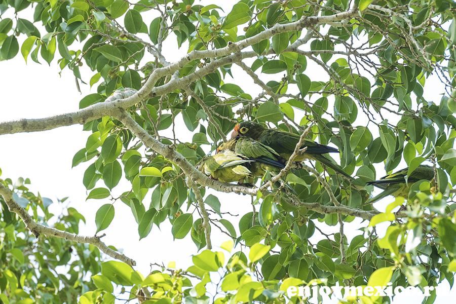 зеленый попугай в мексике на дереве
