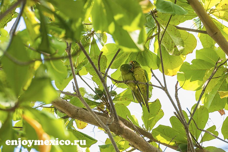 зеленый попугай в мексике фото