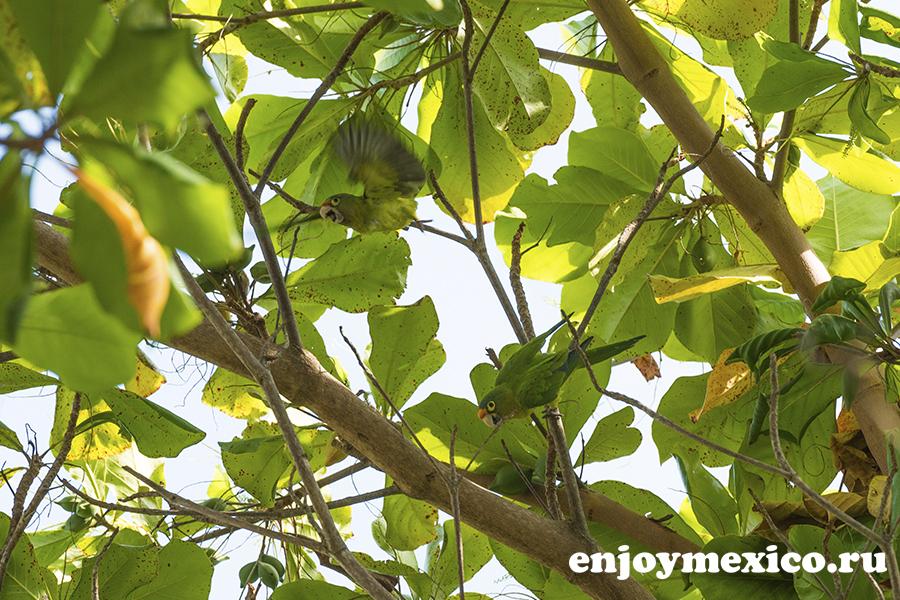 зеленый попугаи в мексике