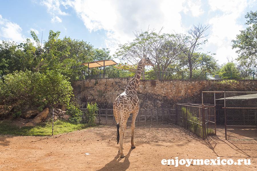 жираф мерида мексика